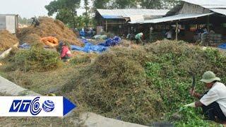 Dân trắng tay vì đổ xô trồng cà gai leo | VTC