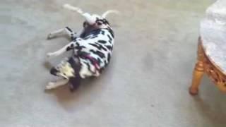 Dalmatian Eating Icee