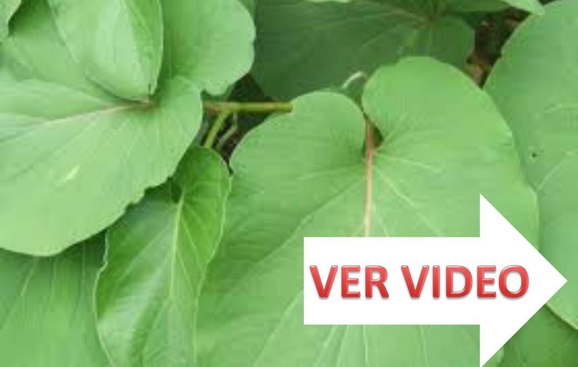 Beneficios de la hierba santa para la salud una planta for Como se planta la lavanda