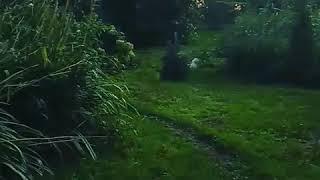 Вест Хайленд Вайт терьера щенки ждут своих хозяев