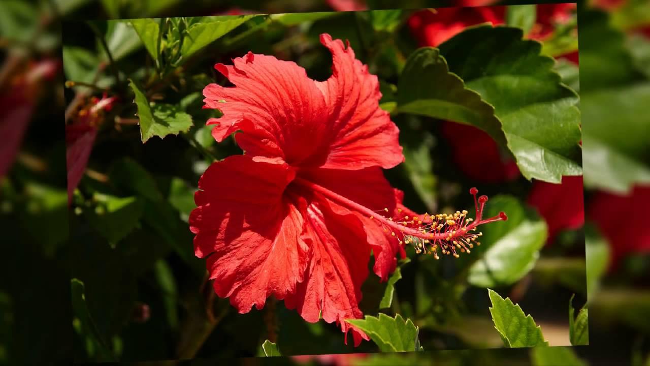Flor De Jamaica Hibiscus Sabdariffa Youtube