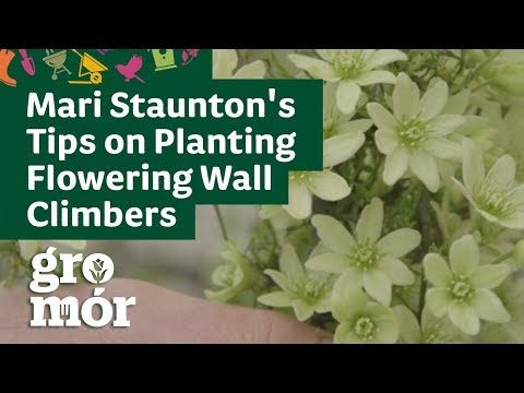 Mari Staunton's Tips on Planting Flowering Wall Climbers