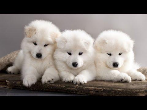 جراوي روت وايلر للبيع حراج | حراج الكلاب | Doovi
