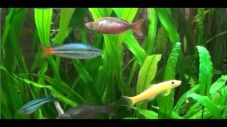 Радужницы (Melanotaenia)  рыбки. Содержание, Уход, Размножение Donaciinae (Melanotaenia) fish.