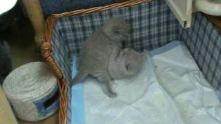"""Британские котята с мамой. Первый выход из """"гнезда"""". П-к Silvery Snow"""