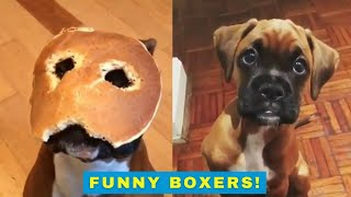 Cute and funny boxer dogs