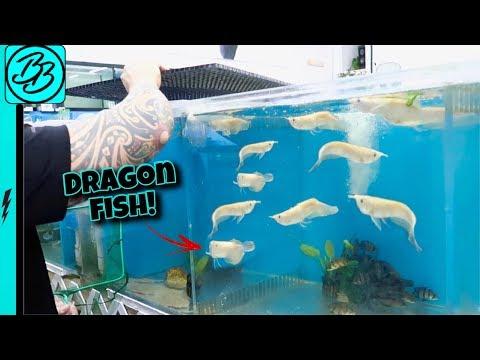 *NEW* ALBINO DRAGON FISH!