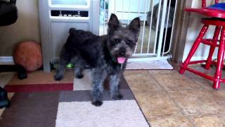 Buster, 4 Year Old Schnauzer For Adoption