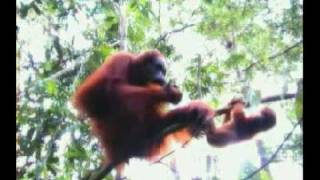 Sumatran Orangutan - part 3 (Indonesian language)