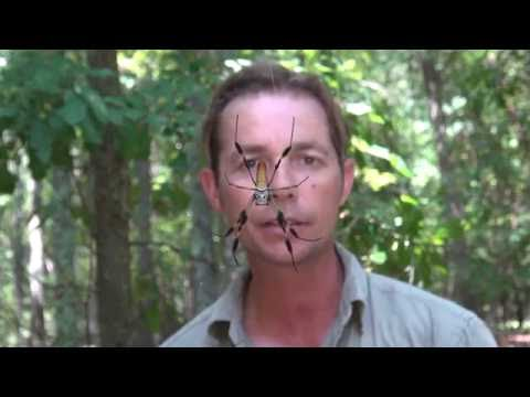BIGGEST ORB SPIDER - Are They DANGEROUS? - Awesome Animals TV - Corey Wild