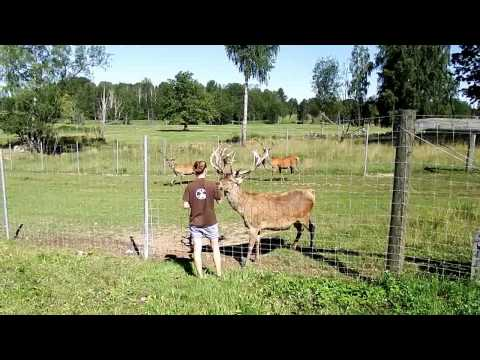 "4.08.2015 Briežu dārzs / safari - Deer farm / Safari - Олений сад / сафари ""Zemitāni"", Latvia"