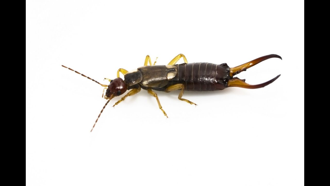 How To Get Rid Of Earwigs You