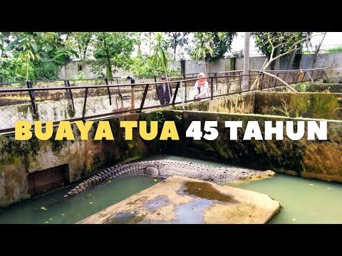 Buaya Buntung di Taman Buaya Kota Medan