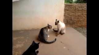 Briga de Gatos - Gatos engraçados