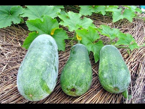 How to Grow a Cucurbita moschata plant? -Gardening Sekho in Hindi/Urdu