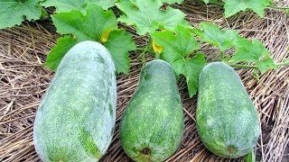 How to Grow a Cucurbita moschata plant? -Gardening Sekho in Hindi/Urdu