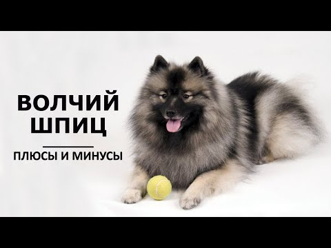 ВОЛЧИЙ ШПИЦ (КЕЕСХОНД). Плюсы и минусы породы ВОЛЬФШПИЦ