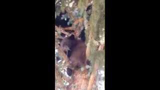 ECOS Aspen Bear