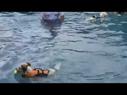 Toy Poodle & Terrier mixed breed dogs swim in swimming pool - adorable!