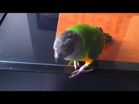 Senegal Parrot Vocalizations