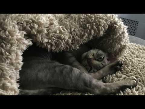 Naughty Devon Rex kitten gets Cat hotel