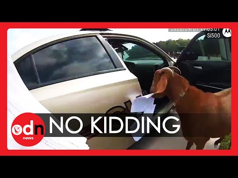Hilarious-Goat-Takes-Over-Police-Car-Eats-Paperwork-and-Headbutts-Officer