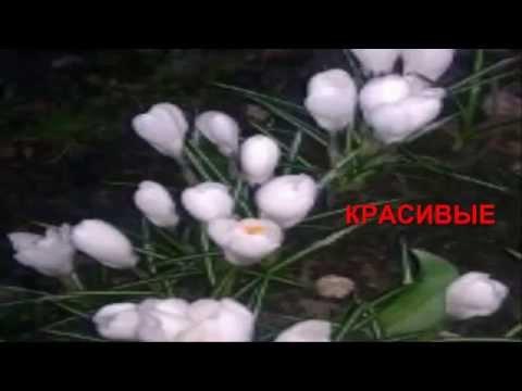 Цветы: многолетники.flowers perennials