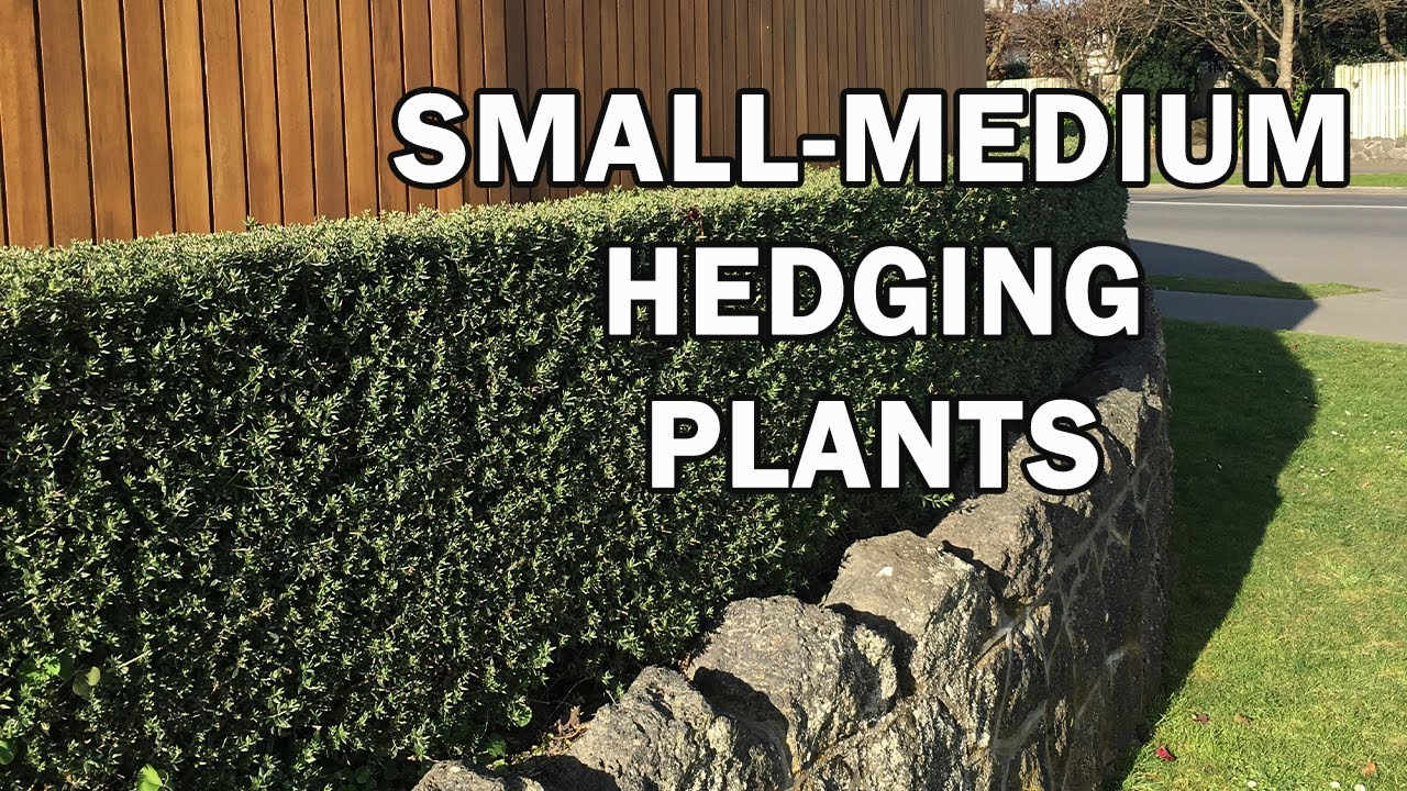 the best small medium size hedging plants for australia youtube