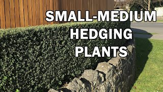 The Best Small - Medium Size Hedging Plants For Australia