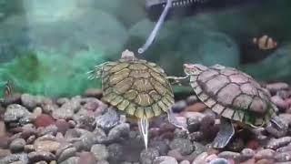 Red Eye Slider Turtle Aquarium  Set up Video