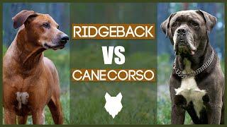 RIDGEBACK VS CANE CORSO