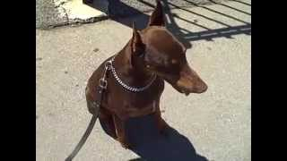 Working Doberman Dame. Master Christian Dog Training Atlanta