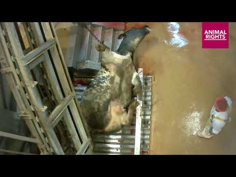 Shocking footage inside a bovine abattoir in Belgium