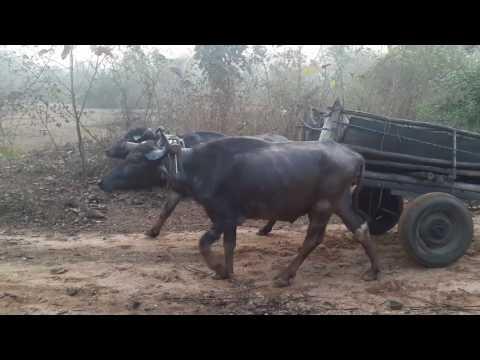 Bullock Cart ..!