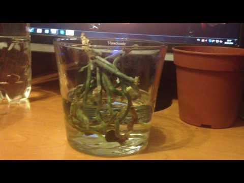 орхидея без листьев, точка роста повреждена. часть 2