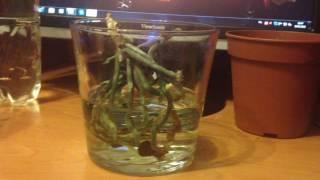 видео Орхидея без корней с вялыми листьями. Orchid without roots with dull leaves