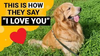 9 Signs that your Golden Retriever Loves You the Most!