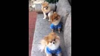 Cutest Pomeranian Clothes And They Know It!!