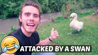 ATTACKED BY A SWAN