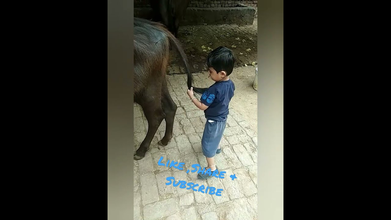 Funny kid playing with calf | #trending #Animals #funny #viral