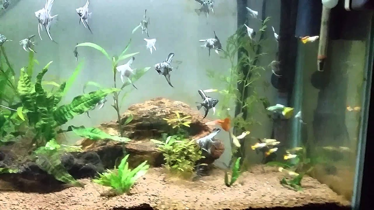 Adult and baby angel fish blue marbles and smokies youtube for Fish tank marbles