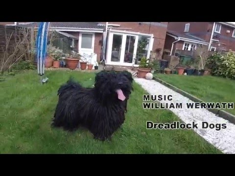 Jump of the dreadlock dog (Hungarian Puli)