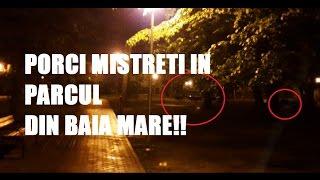 Porci mistreti in parcul municipal Regina Maria - Baia Mare