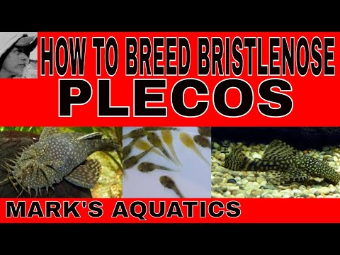 HOW TO BREED BRISTLENOSE PLECOS
