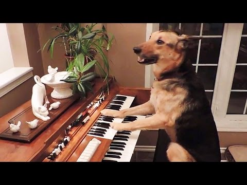Dog plays piano, then takes a bow