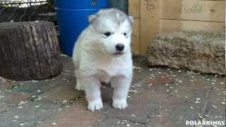 Alaskan Malamute Puppies - 4 weeks old (short HD movie)
