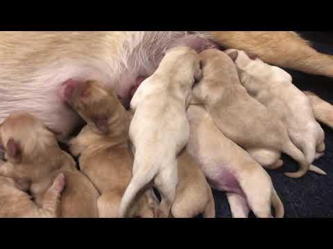 Sage Newborn British Labrador ...