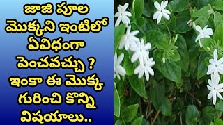 How to grow and care juhi plant/Jasmin molle/  jaji flower plant