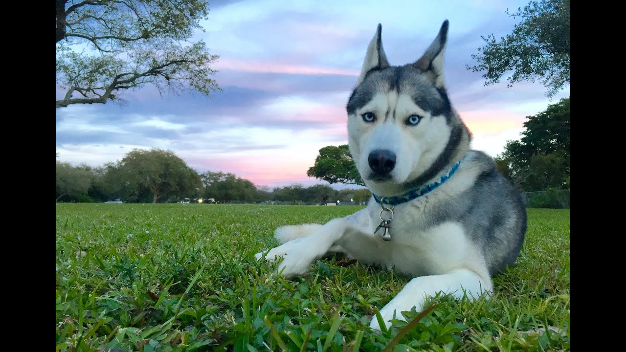 Husky at the Park! (Fun Day!)