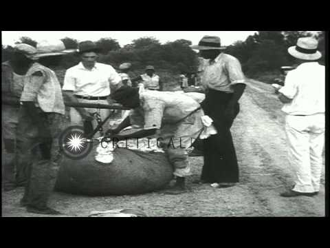 African American cotton pickers pick, gather, weigh and make bundles of cotton in...HD Stock Footage